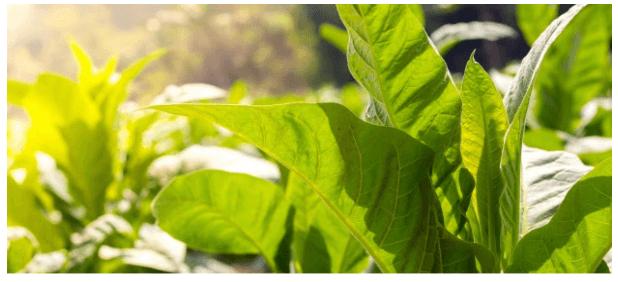 pesticides-engrais-pollution-impact-environnemental-culture-tabac