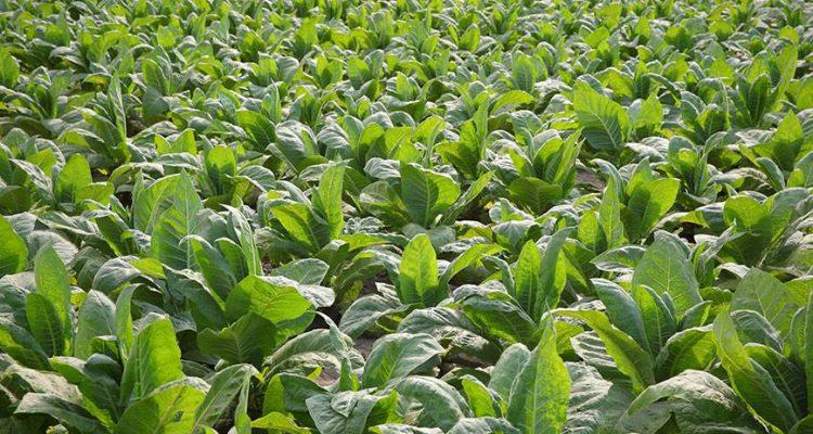 gingembre-plants-de-tabac