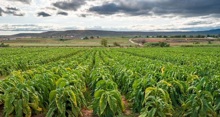 afrique-tabac-histoire