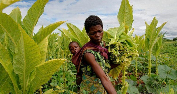 Malawi-travail-force-tabac
