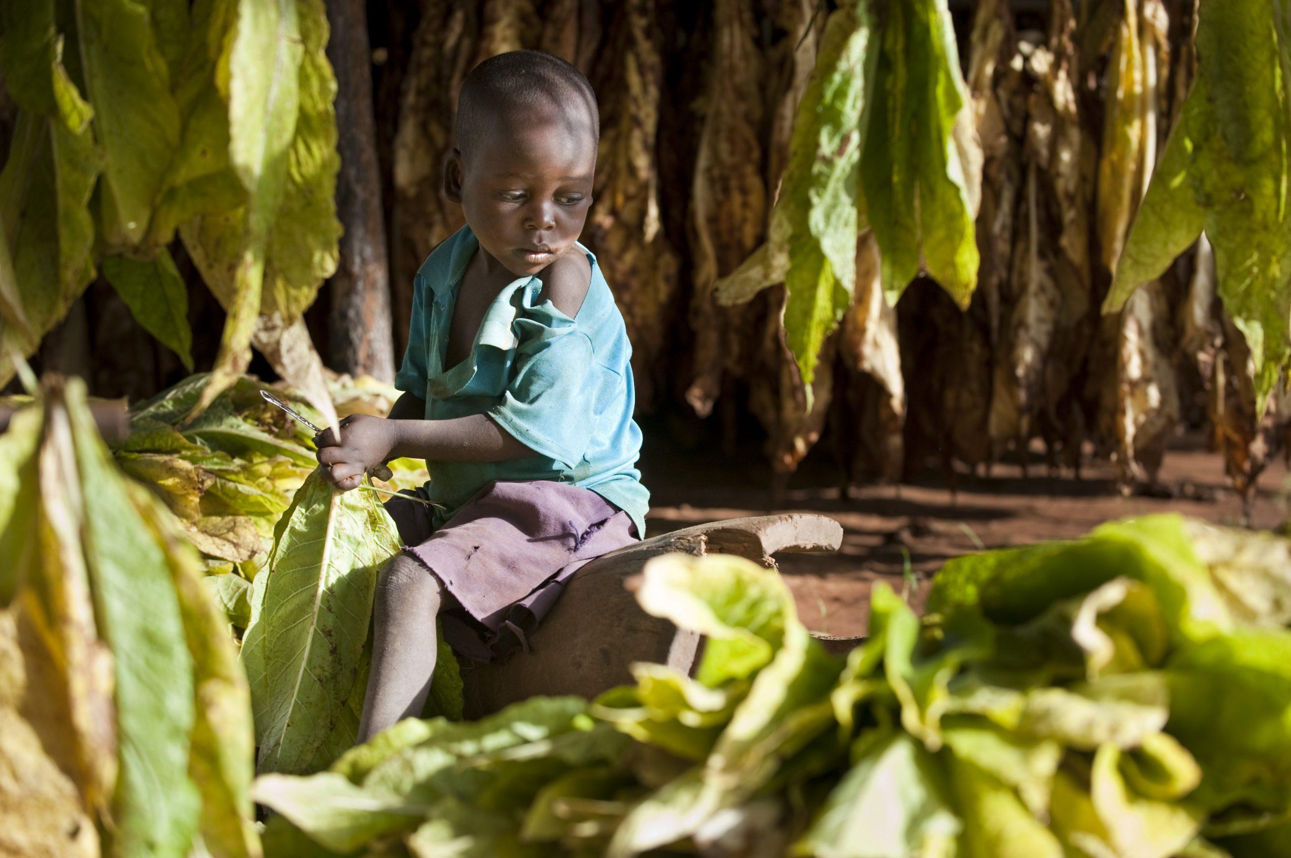travail-des-enfants-malawi-tabac